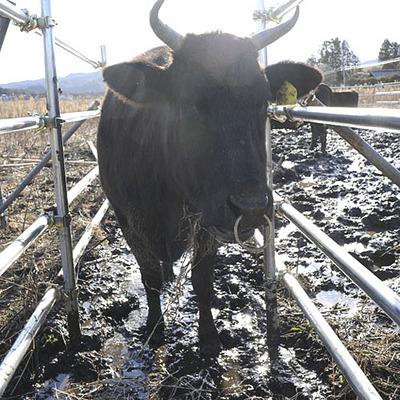 namie-cow2.jpg
